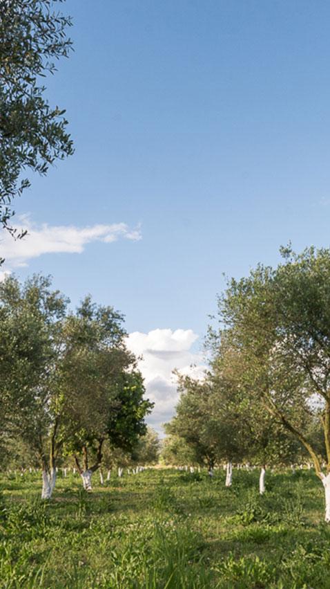 etolea olives